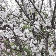 Cherry Blossoms in The Flower Dome